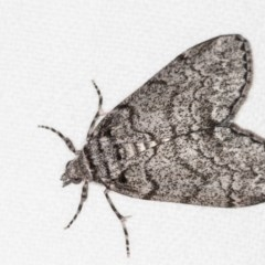 Smyriodes undescribed species nr aplectaria at Melba, ACT - 10 Apr 2018 by Bron