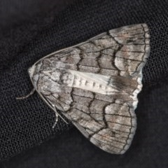 Stibaroma undescribed species (A Line-moth) at Melba, ACT - 12 Apr 2018 by Bron