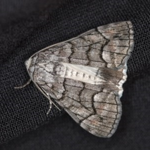 Stibaroma undescribed species at Melba, ACT - 13 Apr 2018