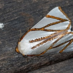 Thalaina clara (Clara's Satin Moth) at Melba, ACT - 12 Apr 2018 by Bron