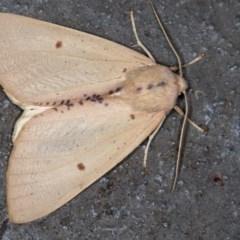 Plesanemma fucata (Lemon Gum Moth) at Melba, ACT - 12 Apr 2018 by Bron