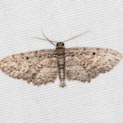 Psilosticha pristis (Little Brown Bark Moth) at Black Mountain - 17 Apr 2018 by Bron