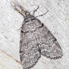 Smyriodes undescribed species nr aplectaria at Black Mountain - 17 Apr 2018 by Bron