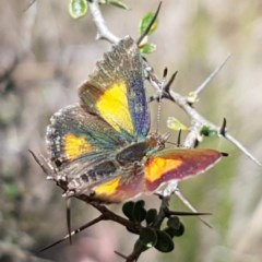 Paralucia aurifer (Bright Copper) at Gibraltar Pines - 18 Dec 2018 by tpreston