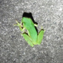 Litoria nudidigita (TBC) at Clyde River Retreat - 27 Feb 2020 by ClydeRiver