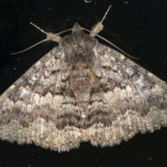 Eudesmeola lawsoni (Lawson's Night Moth) at Ainslie, ACT - 26 Feb 2020 by jbromilow50