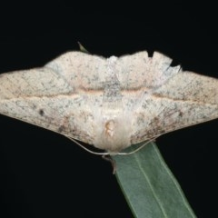 Antictenia punctunculus (A geometer moth) at Ainslie, ACT - 26 Feb 2020 by jbromilow50