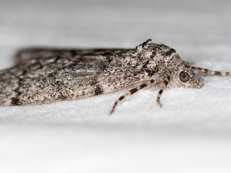 Smyriodes undescribed species nr aplectaria at Melba, ACT - 20 Apr 2018