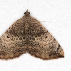 Chrysolarentia mecynata (Mecynata Carpet Moth) at Melba, ACT - 24 Apr 2018 by Bron