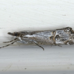 Hednota longipalpella at Ainslie, ACT - 26 Feb 2020