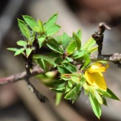 Pultenaea villifera var. villifera (Yellow bush-pea) at Jervis Bay National Park - 26 Feb 2020 by NicholasdeJong
