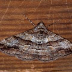Gastrinodes bitaeniaria (Buff Bark Moth) at Melba, ACT - 2 Oct 2018 by Bron