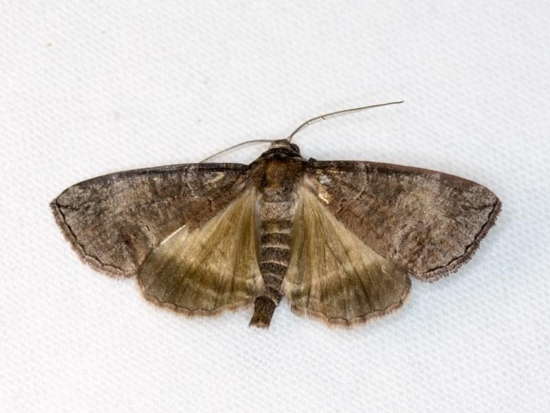 Dysbatus undescribed species at Melba, ACT - 2 Nov 2018