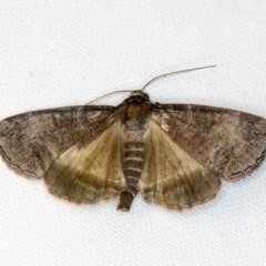 Dysbatus undescribed species (A Line-moth) at Melba, ACT - 1 Nov 2018 by Bron