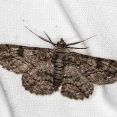 Cleora displicata (A Geometrid moth) at Melba, ACT - 3 Nov 2018 by Bron
