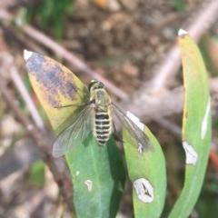Comptosia sp. (genus) (Unidentified Comptosia bee fly) at Hackett, ACT - 24 Feb 2020 by WalterEgo