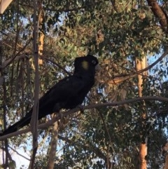 Zanda funereus (Yellow-tailed Black-Cockatoo) at Fisher, ACT - 24 Feb 2020 by YoYo
