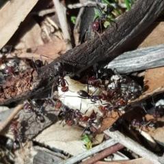 Iridomyrmex purpureus (Meat Ant) at Mount Mugga Mugga - 28 Feb 2020 by Mike