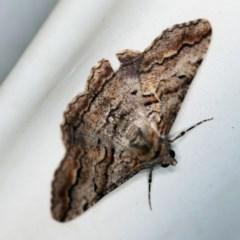 Gastrinodes bitaeniaria (Buff Bark Moth) at Namadgi National Park - 7 Feb 2019 by ibaird