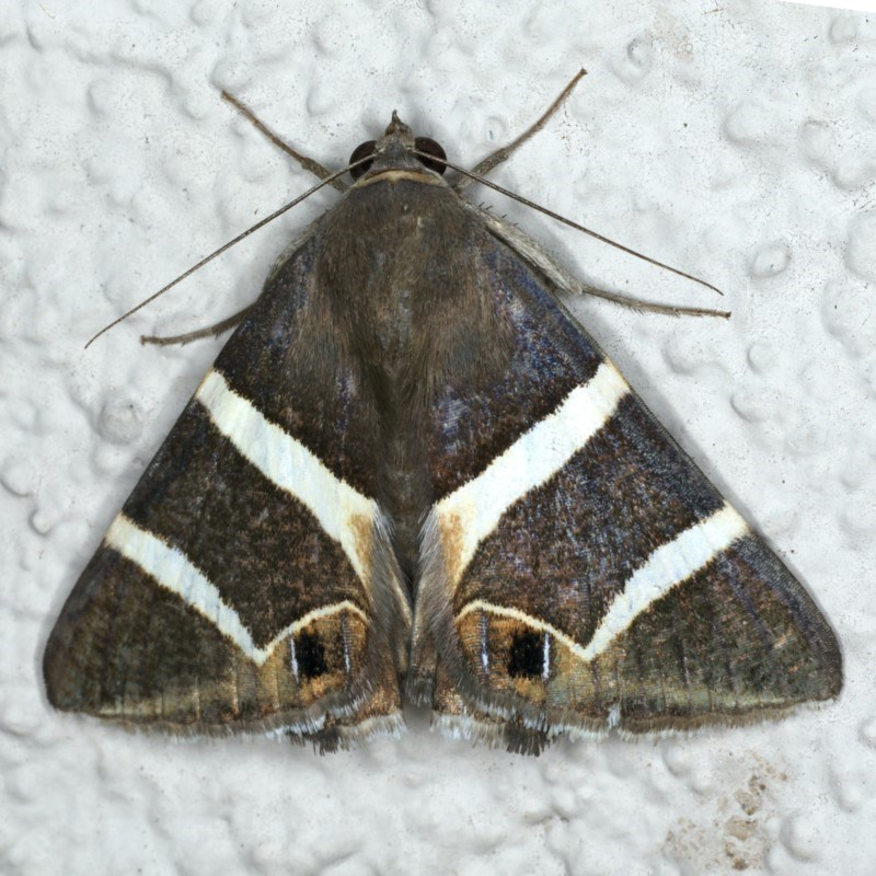 Grammodes oculicola at Ainslie, ACT - 28 Feb 2020