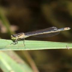 Ischnura heterosticta (Common Bluetail) at Gordon, ACT - 28 Feb 2020 by RodDeb