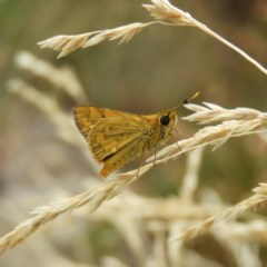 Ocybadistes walkeri (Greenish Grass-dart) at Kambah, ACT - 14 Feb 2020 by MatthewFrawley