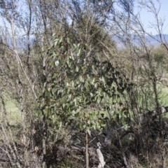 Brachychiton populneus subsp. populneus (Kurrajong) at Hawker, ACT - 26 Feb 2020 by AlisonMilton