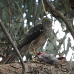 Accipiter fasciatus (Brown Goshawk) at Kambah, ACT - 16 Feb 2020 by MatthewFrawley