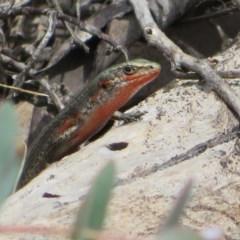 Pseudemoia entrecasteauxii (Woodland Tussock-skink) at Namadgi National Park - 29 Feb 2020 by Christine