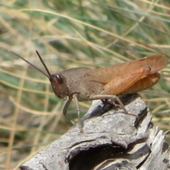 Goniaea australasiae (Gumleaf grasshopper) at Namadgi National Park - 29 Feb 2020 by Christine