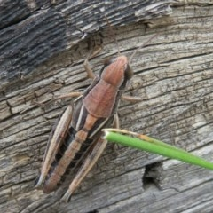 Praxibulus sp. (genus) (A grasshopper) at Namadgi National Park - 29 Feb 2020 by Christine