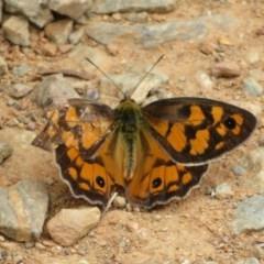Heteronympha penelope (Shouldered Brown) at Namadgi National Park - 29 Feb 2020 by Christine