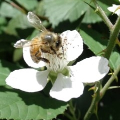 Apis mellifera (European honey bee) at Alpine, NSW - 21 Nov 2017 by JanHartog