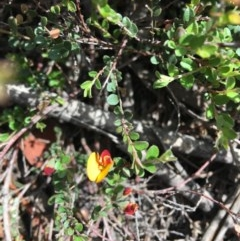 Bossiaea buxifolia (Bush Pea) at Hughes Grassy Woodland - 29 Feb 2020 by KL