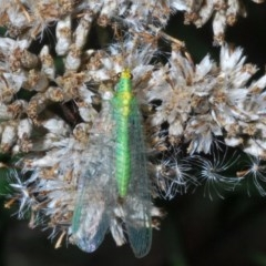 Chrysopidae sp. (family) (Unidentified Green lacewing) at Kosciuszko National Park, NSW - 22 Feb 2020 by Harrisi