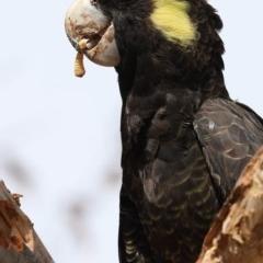 Zanda funereus (Yellow-tailed Black-Cockatoo) at Griffith Woodland - 28 Feb 2020 by ianandlibby1