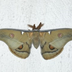 Opodiphthera eucalypti (Emperor Gum Moth) at Ainslie, ACT - 29 Feb 2020 by jbromilow50