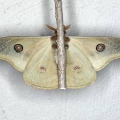 Opodiphthera eucalypti at Ainslie, ACT - 29 Feb 2020