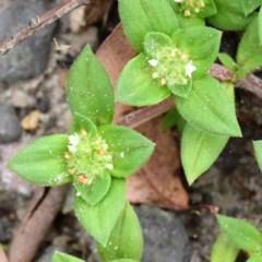 Richardia humistrata (Richardia Weed) at Jervis Bay National Park - 26 Feb 2020 by NicholasdeJong