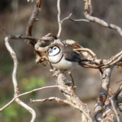 Taeniopygia bichenovii (Double-barred Finch) at Jerrabomberra, NSW - 29 Feb 2020 by Wandiyali