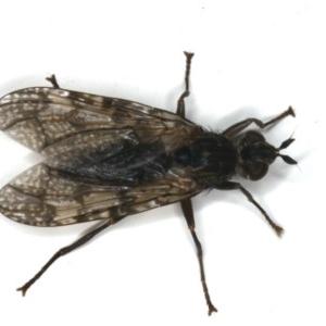 Pyrgotidae sp. (family) at Ainslie, ACT - 22 Jan 2020