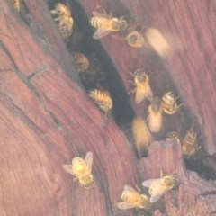 Apis mellifera (European honey bee) at Red Hill Nature Reserve - 29 Feb 2020 by Ct1000