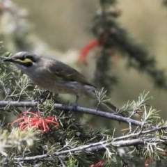 Caligavis chrysops (Yellow-faced Honeyeater) at Jerrabomberra Wetlands - 15 Sep 2019 by Alison Milton