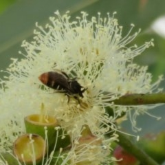 Lipotriches (Austronomia) ferricauda (Halictid bee) at ANBG - 1 Mar 2020 by Christine