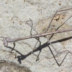 Archimantis sp. (genus) at ANBG - 1 Mar 2020