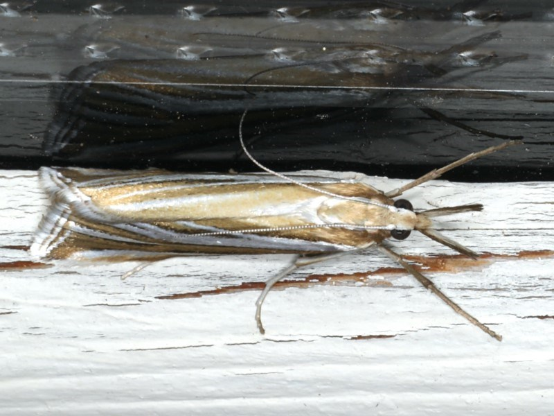 Hednota species near grammellus at Ainslie, ACT - 27 Feb 2020