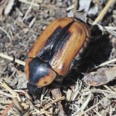 Chondropyga dorsalis (Cowboy Beetle) at Higgins, ACT - 1 Mar 2020 by AlisonMilton
