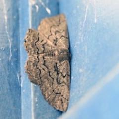 Melanodes anthracitaria (Black Geometrid) at Higgins, ACT - 1 Mar 2020 by AlisonMilton