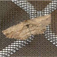 Ectropis (genus) (An engrailed moth) at Higgins, ACT - 24 Sep 2019 by AlisonMilton