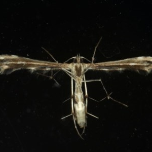 Sphenarches anisodactylus at Ainslie, ACT - 27 Feb 2020
